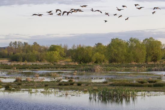 ken-archer-lesser-canada-geese-nisqually-nwr