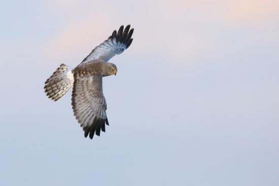 ken-archer-male-northern-harrier-hawk