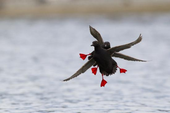 ken-archer-pigeon-guillemot-alighting