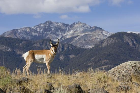 ken-archer-pronghorn-antelope-buck-electric-peak