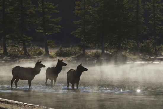 ken-archer-rocky-mountain-cow-elk-in-foggy-morning-pond