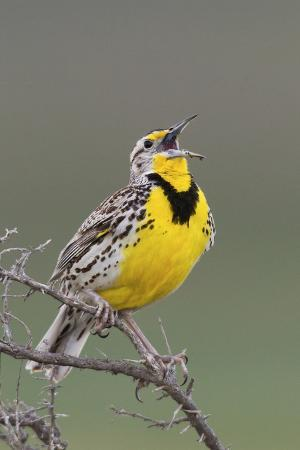 ken-archer-western-meadow-lark-singing