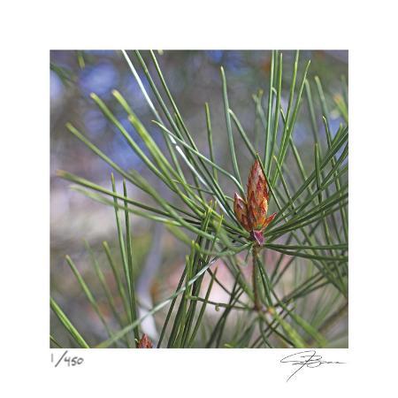 ken-bremer-pine-bud