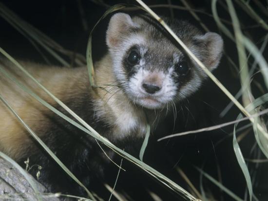ken-lucas-black-footed-ferret-mustela-nigripes-a-highly-endangered-species-of-north-american-mammal