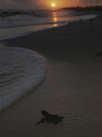 kenneth-garrett-a-newly-hatched-green-sea-turtle-makes-its-way-to-the-surf