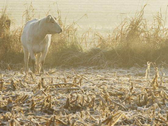 kenneth-garrett-a-white-cow-standing-in-a-harvested-cornfield