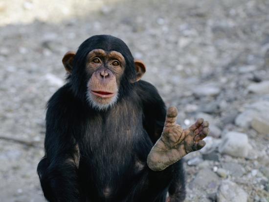 kenneth-garrett-chimpanzee-showing-his-foot