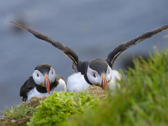 keren-su-atlantic-puffin-latrabjarg-vestfirdhir-iceland