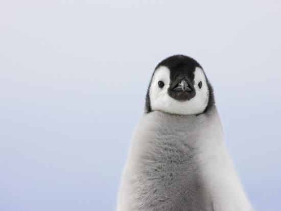 Emperor Penguin Chick Photographic Print by Keren Su at ...