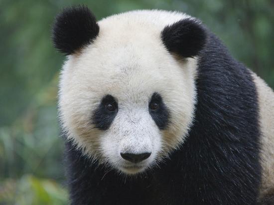 keren-su-giant-panda-cub