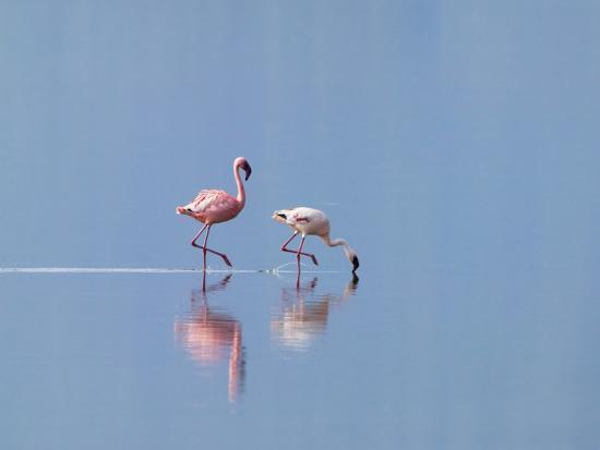 keren-su-lesser-flamingoes-phoenicopterus-minor-lake-nakuru-kenya