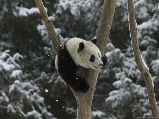 keren-su-panda-cub-playing-on-tree-in-snow-wolong-sichuan-china