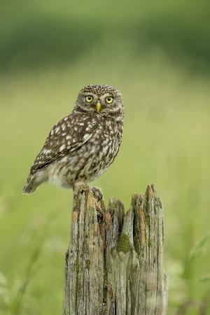 kevin-morgans-little-owl-athene-noctua-yorkshire-england-united-kingdom-europe