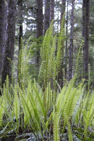 kevin-oke-canada-b-c-carmanah-walbran-provincial-park-ferns