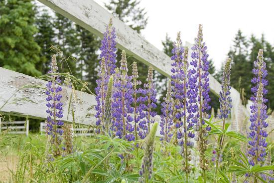 kevin-oke-canada-british-columbia-vancouver-island-lupine-lupinus