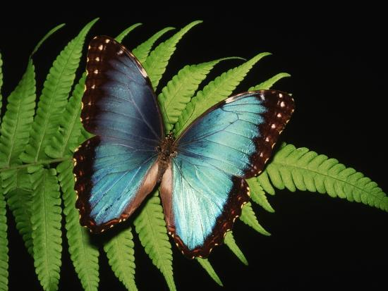 kevin-schafer-blue-common-morpho-butterfly-on-fern-frond