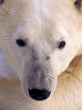 kevin-schafer-polar-bear