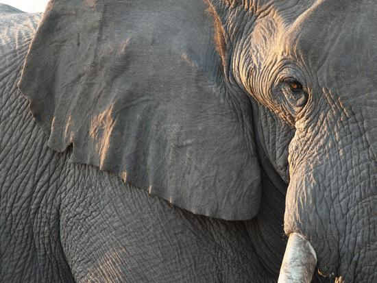 kim-walker-close-up-of-partial-face-african-elephant-loxodonta-africana-etosha-national-park-namibia