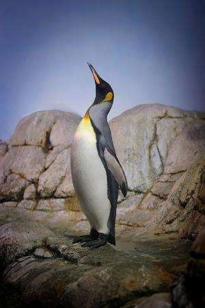 kimberly-hall-penguin-with-beak-towards-the-sky-and-wings-back-on-rocks