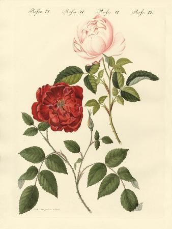 kinds-of-roses