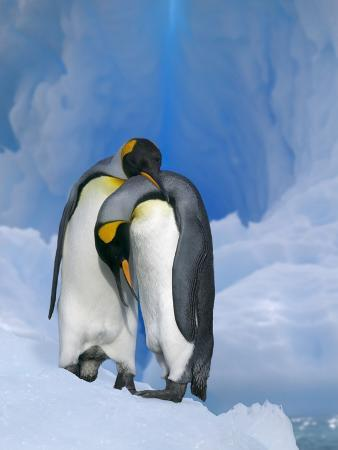 king-penguins-courting
