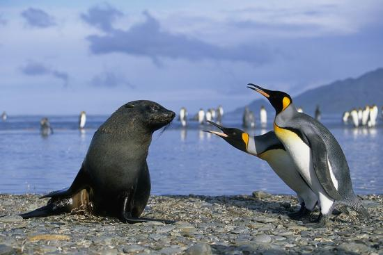 king-penguins-protecting-their-territory