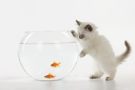 kitten-watching-fish-in-fish-bowl