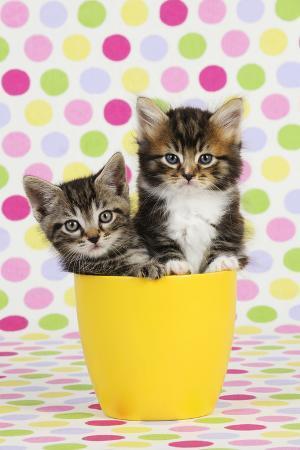 kittens-7-weeks-old-sitting-in-cup