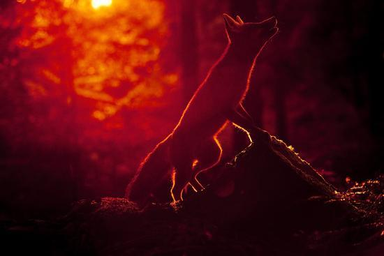 klaus-echle-red-fox-vulpes-vulpes-looking-up-into-tree-at-sunset-backlit-black-forest-germany