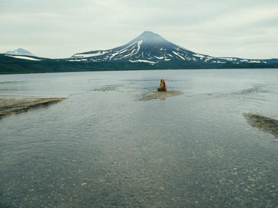 klaus-nigge-a-brown-bear-sitting-on-a-sandbar-in-a-river-near-a-volcanic-mountain