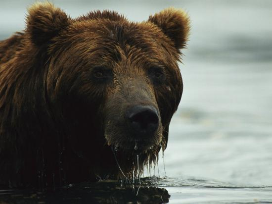 klaus-nigge-a-close-view-of-the-face-of-a-brown-bear-in-water