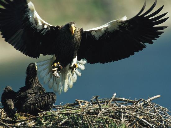 klaus-nigge-adult-stellers-sea-eagle-flies-to-its-nest-and-waiting-eaglet