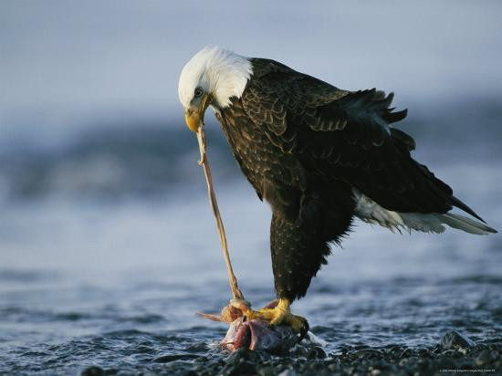 klaus-nigge-an-american-bald-eagle-clutches-a-fish-with-its-talons-as-it-feeds