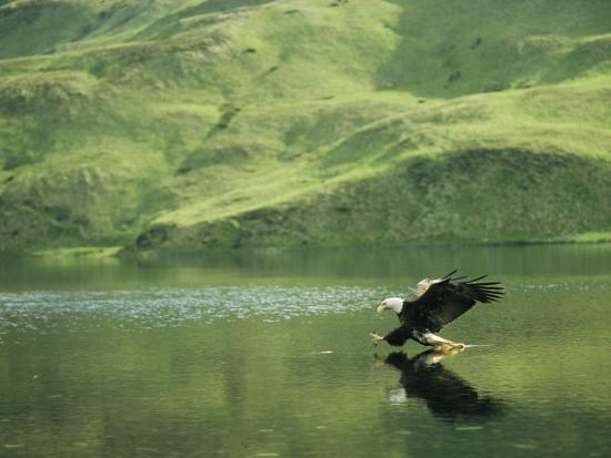 klaus-nigge-an-american-bald-eagle-lunges-toward-its-prey-below-the-water