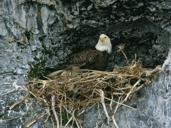 klaus-nigge-an-american-bald-eagle-perches-in-its-nest