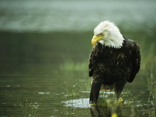 klaus-nigge-an-american-bald-eagle-stares-intently-down-at-its-prey-below