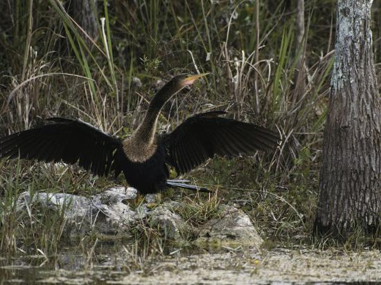 klaus-nigge-anhinga-spreads-its-wings-on-floridas-gulf-coast