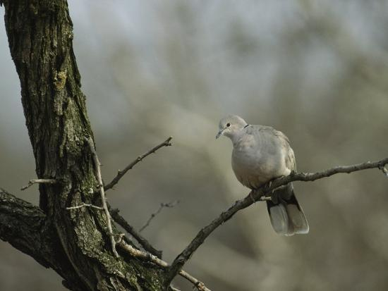 klaus-nigge-collared-turtle-dove-perched-on-a-tree-limb