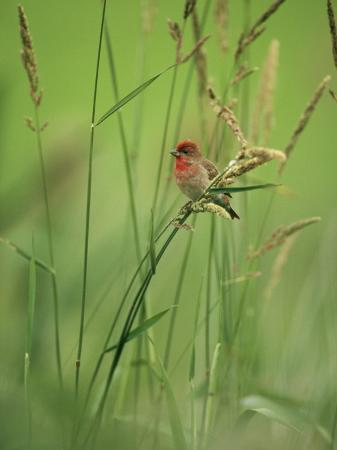 klaus-nigge-finch-perched-on-grass-with-seed-heads