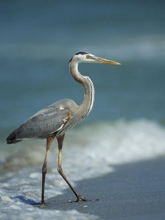 klaus-nigge-great-blue-heron-walks-in-the-sand
