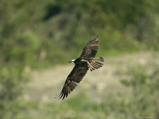 klaus-nigge-osprey-in-flight