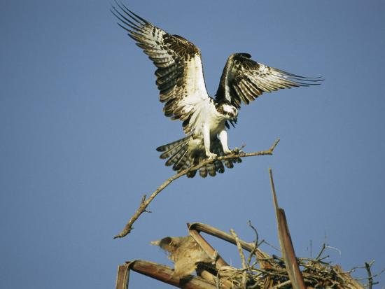 klaus-nigge-osprey-landing-in-its-nest-with-a-piece-of-building-material