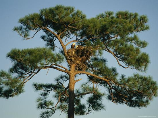 klaus-nigge-pair-of-bald-eagles-perch-in-their-treetop-nest