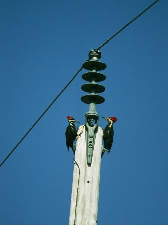 klaus-nigge-pair-of-pileated-woodpeckers-on-floridas-gulf-coast