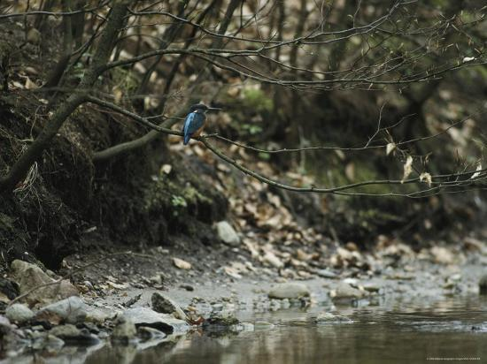 klaus-nigge-river-kingfisher-sitting-on-a-tree-branch-over-a-stream