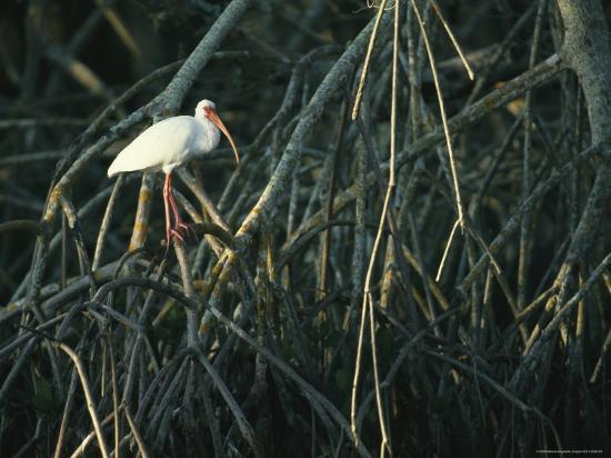 klaus-nigge-white-ibis-perches-on-a-mangrove-tree-root