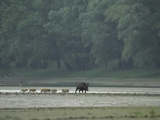 klaus-nigge-wild-boar-and-her-piglets-running-along-a-river-bank
