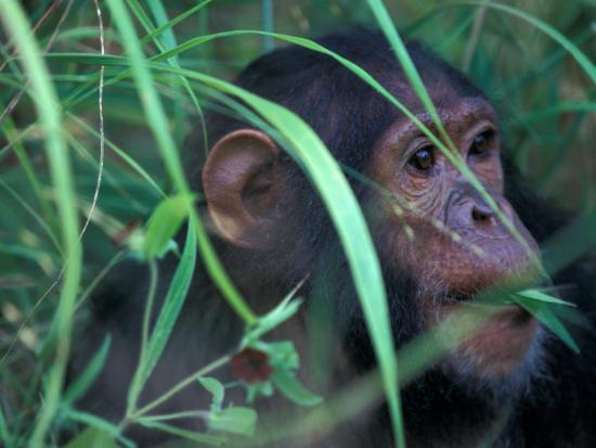 kristin-mosher-female-chimpanzee-rolls-the-leaves-of-a-plant-gombe-national-park-tanzania