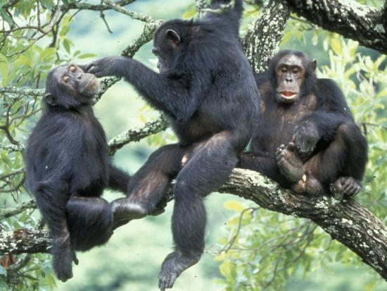 kristin-mosher-male-chimpanzee-grooms-his-brother-gombe-national-park-tanzania