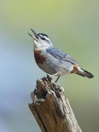 kruper-s-nuthatch-in-pine-tree-calling
